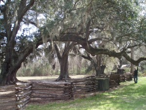 Jason checks out Magnolia Plantation's old oak tree and its long branch