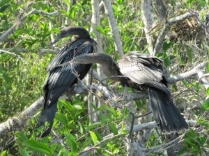 Anhinga mating pair