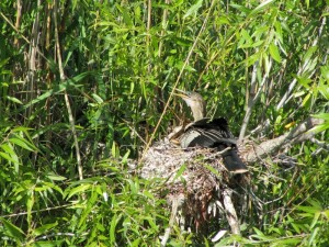 Anhinga and its chick
