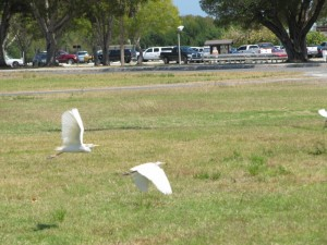 Snowy Egrets instead of seagulls