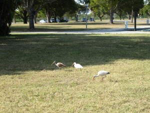 White Ibis instead of Pigeons
