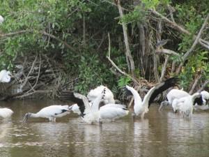 Wood Storks feasting.