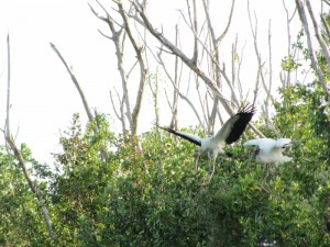 Great view of the Wood Stork's wing span.