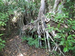 ...and the strangler fig...