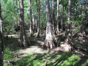 ...Cypress trees..