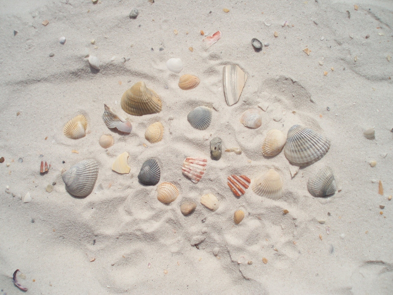 At high tide shells of all types wash up on the beach as well as...