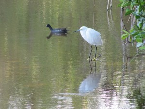 A Snowy Egret and what appears to be a strange duck.  We can't rememebr its name...but it's still cool so we took a picture anyway.