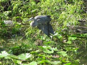 Here's a Great Blue Heron.