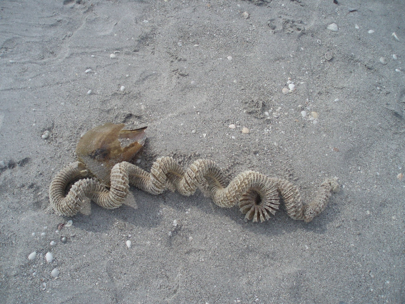 ...and egg sacks for sea snails (conch like animals).