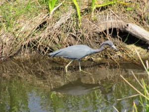 And here's a Little Blue Heron, a smaller type of heron.