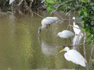 From L to R: Wood Stork, Snowy Egret and Great Egret.