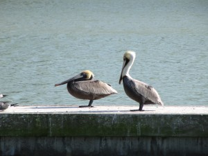 Pelicans relaxing after stealing food from the smaller sea birds. Still have to get a pic of them diving.