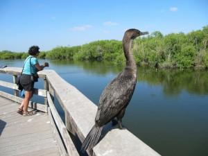 There are Cormorants in the Everglades as well. Like Anhingas and Pelicans they fish for their dinner.