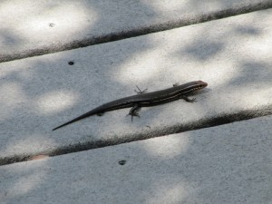Interesting Salamander - they are everywhere.