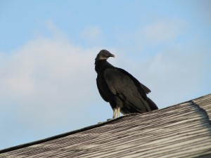 Here's a Black Vulture on the outhouse roof. Apparently when it gets hot they will rip into car rubber caulking because these days they have fish oil in it.  Haven't run into this anywhere else and thankfully, they didn't touch Wendy or Chuck.