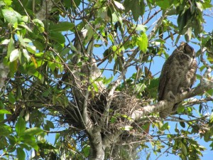 And, here's a Barred Owl with its baby chick on the left.