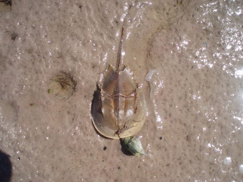 ...horseshoe crab...