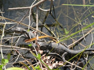 We even got some pics of baby Gators.