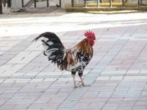 Roosters, hens and chicks freely roam the streets of Key West.