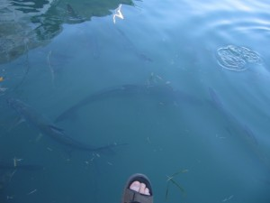 These huge Tarpon are a common sight by the marina.  Jason's toes offer some perspective on their size.